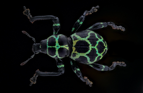 weevil-Pachyrrynchus-reticulatus_