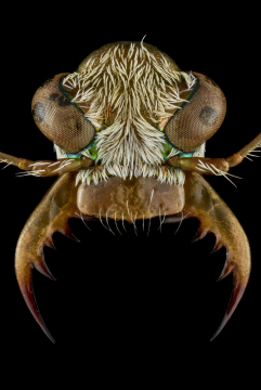 Ellipsoptera-lepida-Minnesota