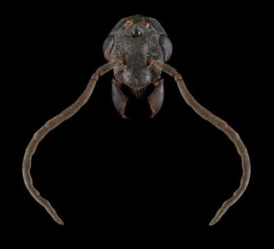 Platythyrea-lamellosa-male-Botswana-2