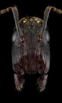 Colobopsis-stricta-Malaysia