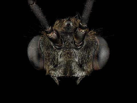 Pachycondyla-impressa-male-2