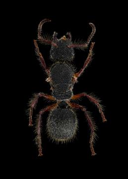 Echinopla-sp.-Malaysia-2