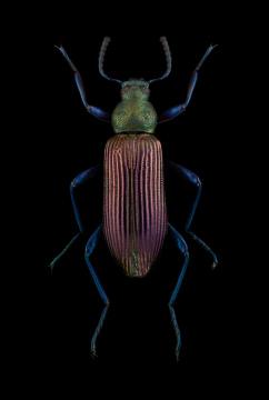 Strongylium-cupripenne-Madagascar