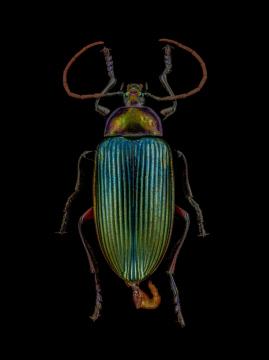 Nesogena-sp.-Madagascar