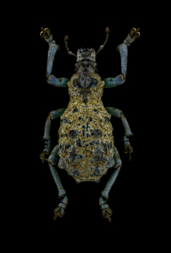 Holonychus-saxosus-Madagascar