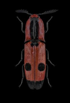 Abiphis-insignis-Madagascar_