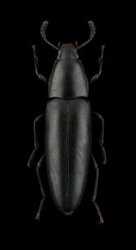 Macellocerus-sp.-Madagascar