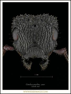 Cataulacus-granulatus-queen-Latreille-1802-