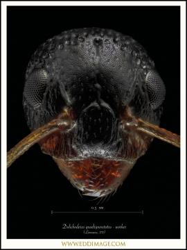 Dolichoderus-quadripunctatus-worker-Linnaeus-1771-