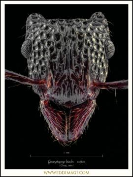 Gnamptogenys-bicolor-worker-Emery-1889