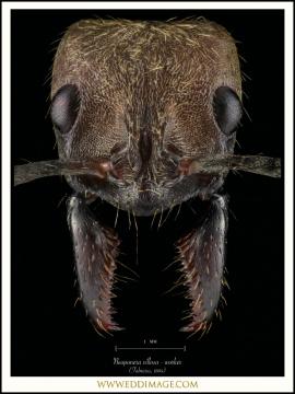Neoponera-villosa-worker-Fabricius-1804