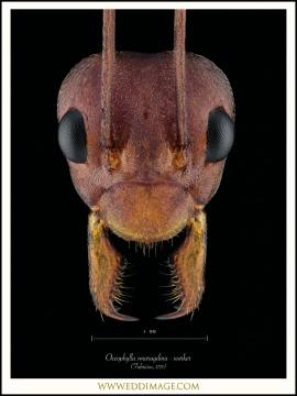 Oecophylla-smaragdina-worker-Fabricius-1775