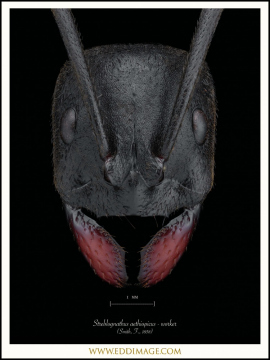 Streblognathus-aethiopicus-worker-Smith-F.-1858