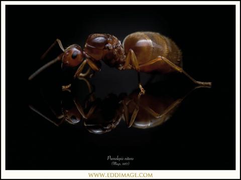 4_Prenolepis-nitens-queen-Mayr-1853