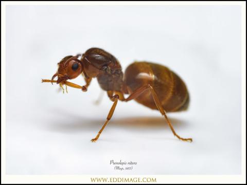5_Prenolepis-nitens-queen-Mayr-1853