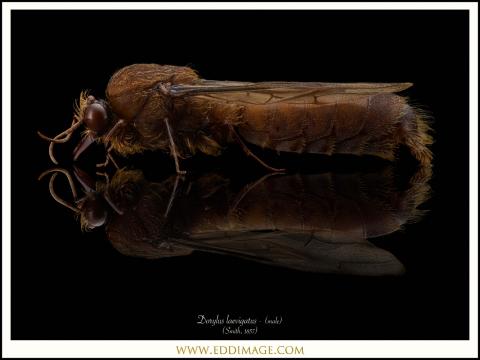 1_Dorylus-laevigatus-male-Smith-1857