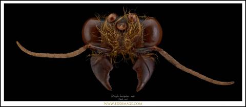 Dorylus-laevigatus-maleSmith-1857