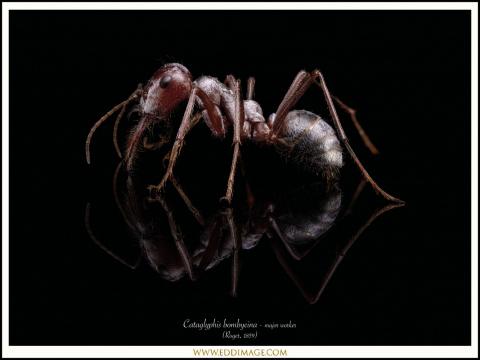1_Cataglyphis-bombycina-major-worker-Roger-1859-
