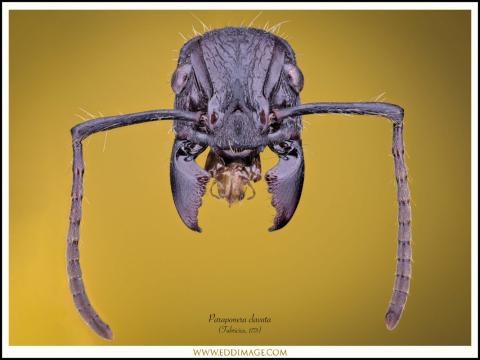 Paraponera-clavata-Fabricius-1775