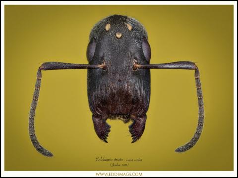 Colobopsis-stricta-major-worker-Jerdon-1851
