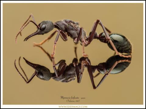 Myrmecia-forficata-queen-2-Fabricius-1787