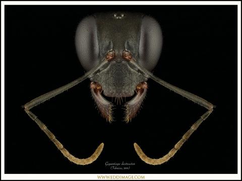 Gigantiops-destructor-queen-1-Fabricius-1804