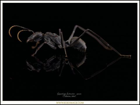 Gigantiops-destructor-queen-2-Fabricius-1804