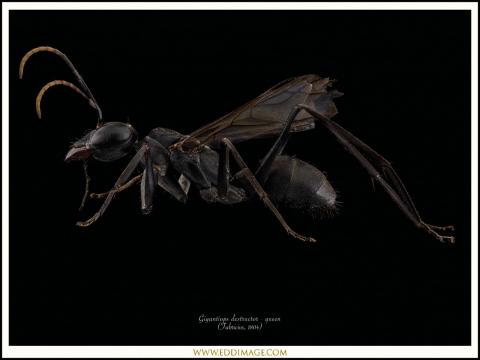 Gigantiops-destructor-queen-3-Fabricius-1804