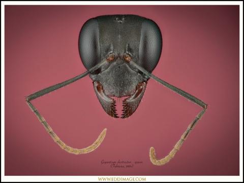 Gigantiops-destructor-queen-5-Fabricius-1804