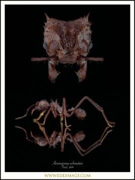 Acromyrmex-echinatior-Forel-1899