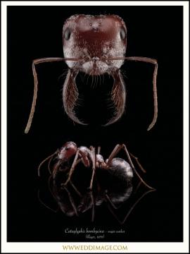 Cataglyphis-bombycina-major-worker-Roger-1859-