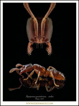 Hypoponera-punctatissima-worker-Roger-1859