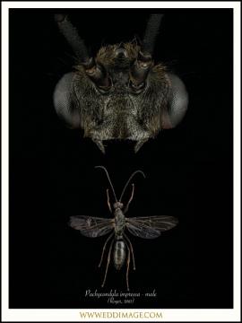 Pachycondyla-impressa-male-Roger-1861