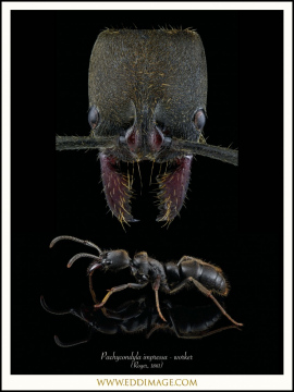 Pachycondyla-impressa-worker-Roger-1861