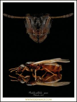 Pheidole-pallidula-queen-Nylander-1849