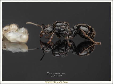 Messor-aciculatus-queen-3-Smith-F.-1874