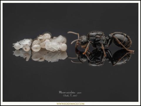 Messor-aciculatus-queen-6-Smith-F.-1874