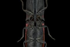 Abiphis-insignis-Madagascar_-2