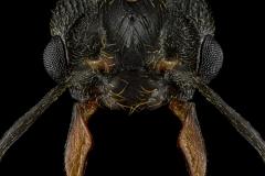 Acromyrmex-ambiguus-male