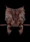 Acromyrmex-echinatior-2