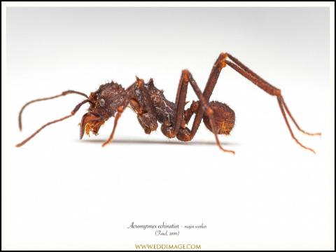 Acromyrmex-echinatior-major-worker-3-Forel-1899