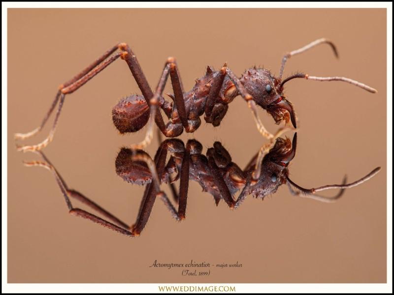 Acromyrmex-echinatior-major-worker-4-Forel-1899