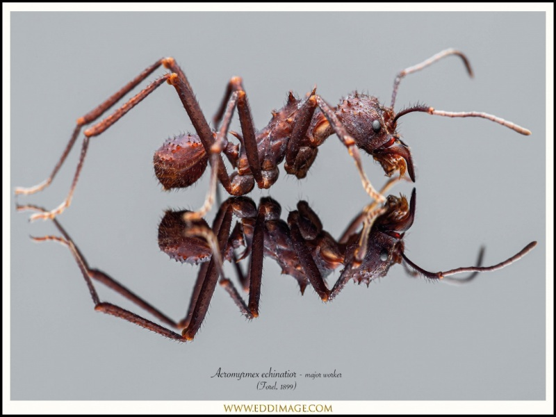 Acromyrmex-echinatior-major-worker-5-Forel-1899