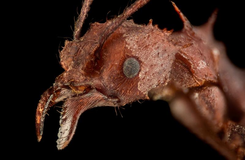 leaf-cutter ant [Acromyrmex echinatior] - Costa Rica4