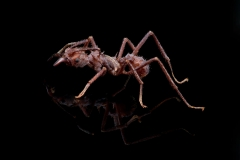 leaf-cutter ant [Acromyrmex echinatior] - Costa Rica5