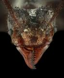 leaf-cutter ant [Acromyrmex volcanus] - Costa Rica3
