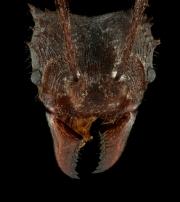 leaf-cutter ant [Acromyrmex volcanus] - Costa Rica4