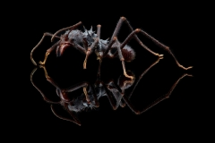 leaf-cutter ant [Acromyrmex volcanus] - Costa Rica5