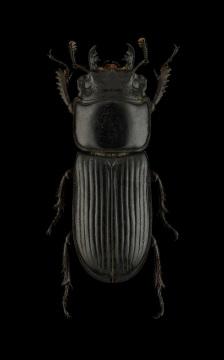Agnelius-nageli-Kriesche-1926-Madagascar