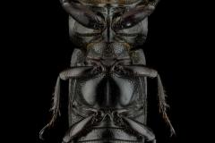 Agnelius-nageli-Kriesche-1926-Madagascar-2